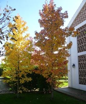 Liquidambares en otoño